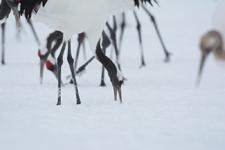 北海道釧路のタンチョウヅルの画像011