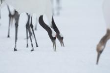 北海道釧路のタンチョウヅルの画像013