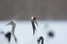 北海道釧路のタンチョウヅルの画像018