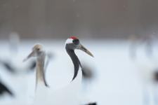 北海道釧路のタンチョウヅルの画像023
