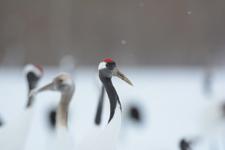 北海道釧路のタンチョウヅルの画像024
