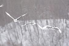 北海道釧路のタンチョウヅルの画像050