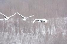 北海道釧路のタンチョウヅルの画像053