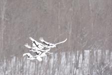 北海道釧路のタンチョウヅルの画像055