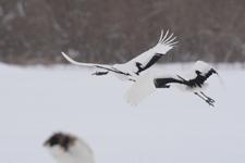 北海道釧路のタンチョウヅルの画像066