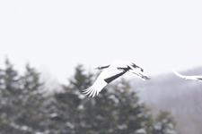 北海道釧路のタンチョウヅルの画像068