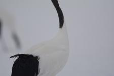 北海道釧路のタンチョウヅルの画像092