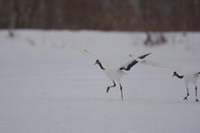北海道釧路のタンチョウヅルの画像103