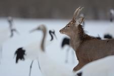 北海道釧路のタンチョウヅルとエゾシカの画像007