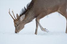 北海道釧路のタンチョウヅルとエゾシカの画像018