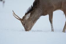 北海道釧路のタンチョウヅルとエゾシカの画像021