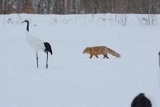 北海道釧路のタンチョウヅルとキタキツネの画像001