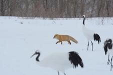 北海道釧路のタンチョウヅルとキタキツネの画像007