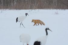 北海道釧路のタンチョウヅルとキタキツネの画像008