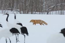 北海道釧路のタンチョウヅルとキタキツネの画像012