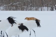 北海道釧路のタンチョウヅルとキタキツネの画像013