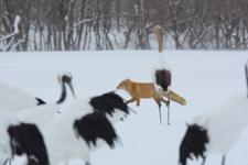 北海道釧路のタンチョウヅルとキタキツネの画像014