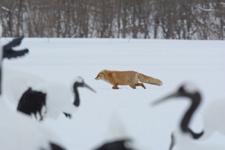北海道釧路のタンチョウヅルとキタキツネの画像015