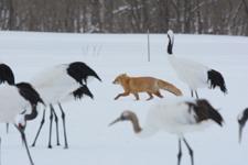 北海道釧路のタンチョウヅルとキタキツネの画像018