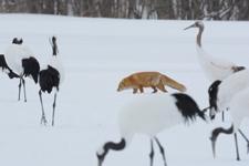 北海道釧路のタンチョウヅルとキタキツネの画像019