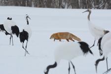 北海道釧路のタンチョウヅルとキタキツネの画像020