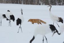 北海道釧路のタンチョウヅルとキタキツネの画像022