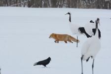 北海道釧路のタンチョウヅルとキタキツネの画像023