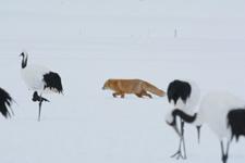北海道釧路のタンチョウヅルとキタキツネの画像026