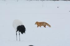 北海道釧路のタンチョウヅルとキタキツネの画像027