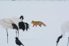 北海道釧路のタンチョウヅルとキタキツネの画像028