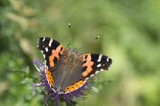瓶ヶ森の蝶々の画像001