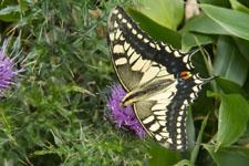 瓶ヶ森の蝶々の画像002