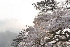 紫雲出山の桜の画像001
