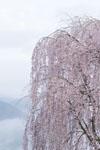 紫雲出山の桜の画像002