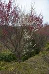 高知の梅の花の画像003