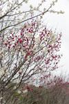 高知の梅の花の画像004