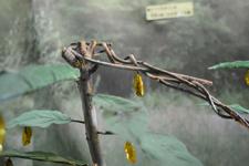 オオゴマダラチョウの蛹