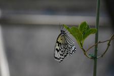 多摩動物公園のオオゴマダラチョウの画像001