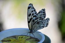 多摩動物公園のオオゴマダラチョウの画像002