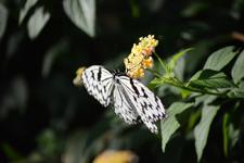 多摩動物公園のオオゴマダラチョウの画像003