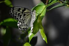 多摩動物公園のオオゴマダラチョウの画像004