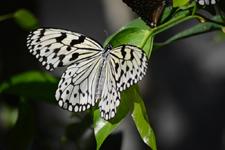 多摩動物公園のオオゴマダラチョウの画像005