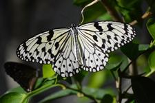 多摩動物公園のオオゴマダラチョウの画像006