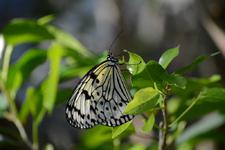 多摩動物公園のオオゴマダラチョウの画像007
