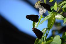 多摩動物公園のツマムラサキマダラの画像002