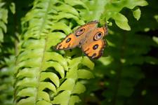 多摩動物公園のタテハモドキの画像001