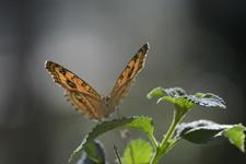 多摩動物公園のタテハモドキの画像004
