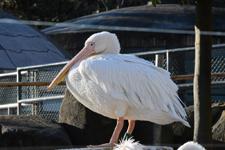 多摩動物公園のモモイロペリカンの画像001