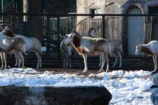 多摩動物公園のシロオリックス