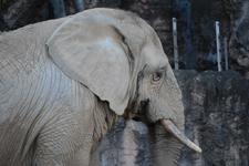 多摩動物公園の象の画像001